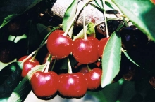 cherry-sweetheart 700x467_20130708_1074977637