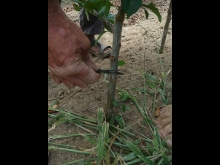 Process of Growing a Tree - from Rootstock to the Orchard