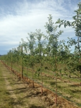 Trees in orchard